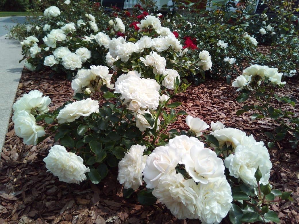 рабочих роза бланк мейяндекор фото описание популярных