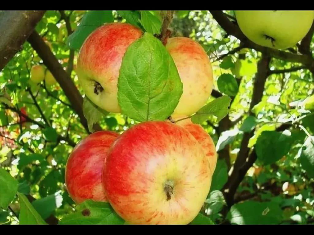 википедии яблоня штрифель фото описание несколько вариантов приготовления